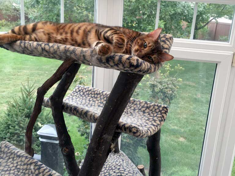 DesignerStripes Toyger Breeder Illinois Cats Kittens