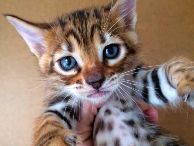 DesignerStripes Toyger Kitten