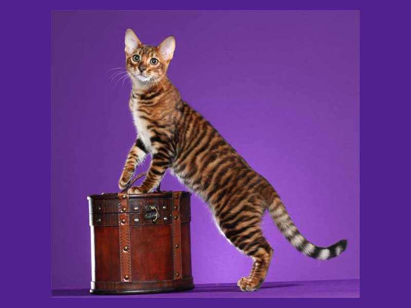 DesignerStripes Toyger Wall of Fame
